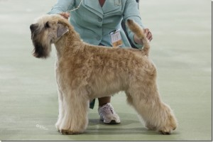 Soft Coated Wheaten Terrier www.blondees-wheatens.net